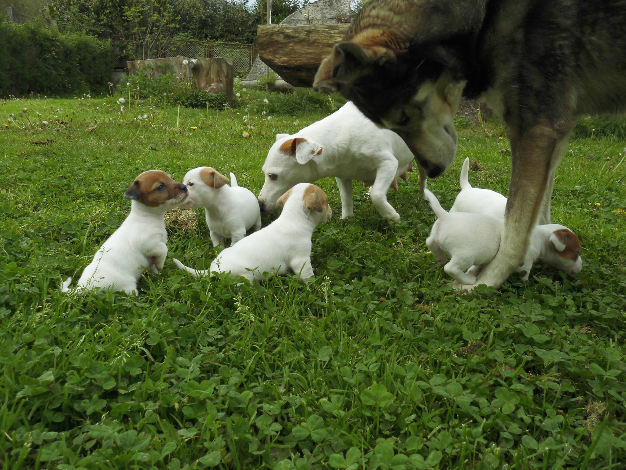 cuccioli_dog_island_di_tarcento