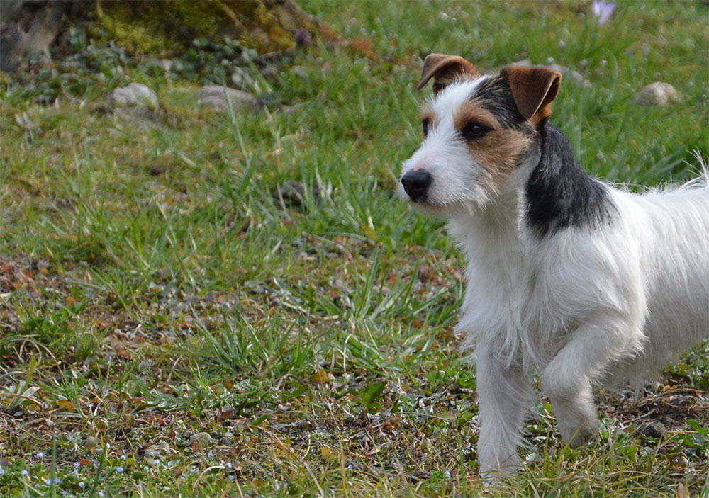 dog_island_di_tarcento_indios_jack_russell_terrier