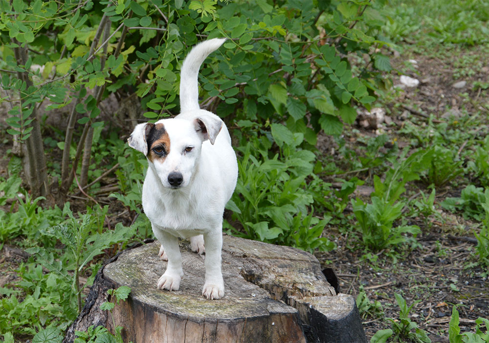 dog_island_di_tarcento_jackie_jack_russell_terrier