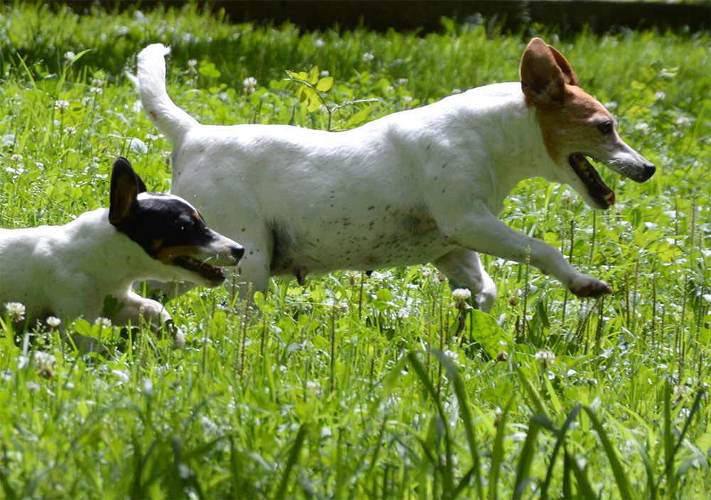 dog_island_di_tarcento_joy_jack_russell_terrier