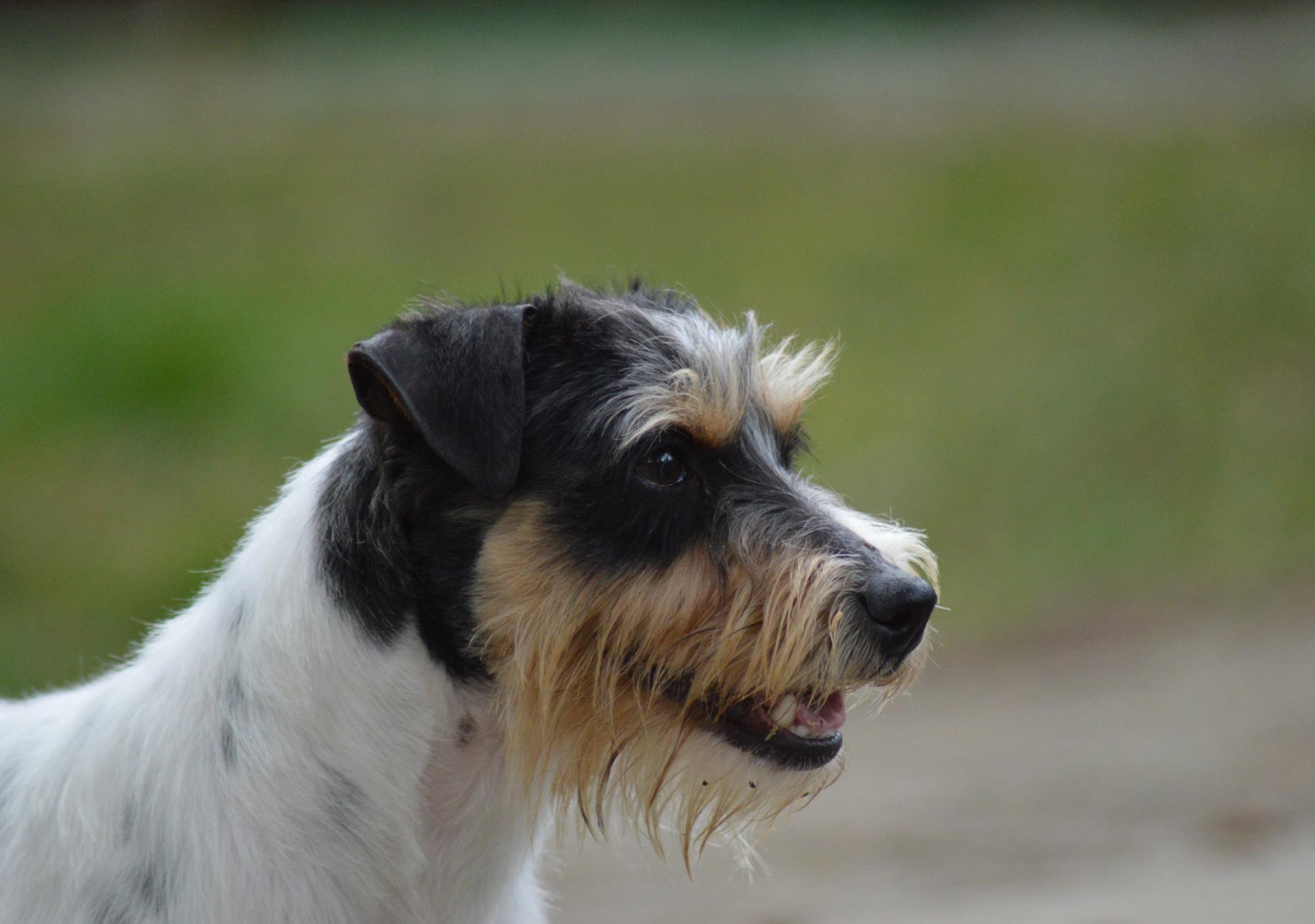 dog_island_di_tarcento_luna_jack_russell_terrier