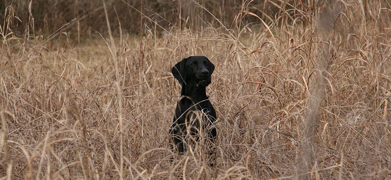 dog_island_tarcento_black0_kurzhaar_bracco_tedesco