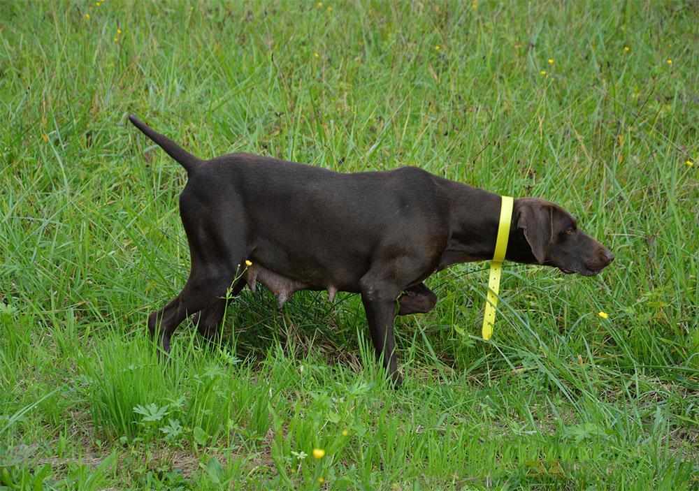dog_island_di_tarcento_emma_kurzhaar_bracco_tedesco