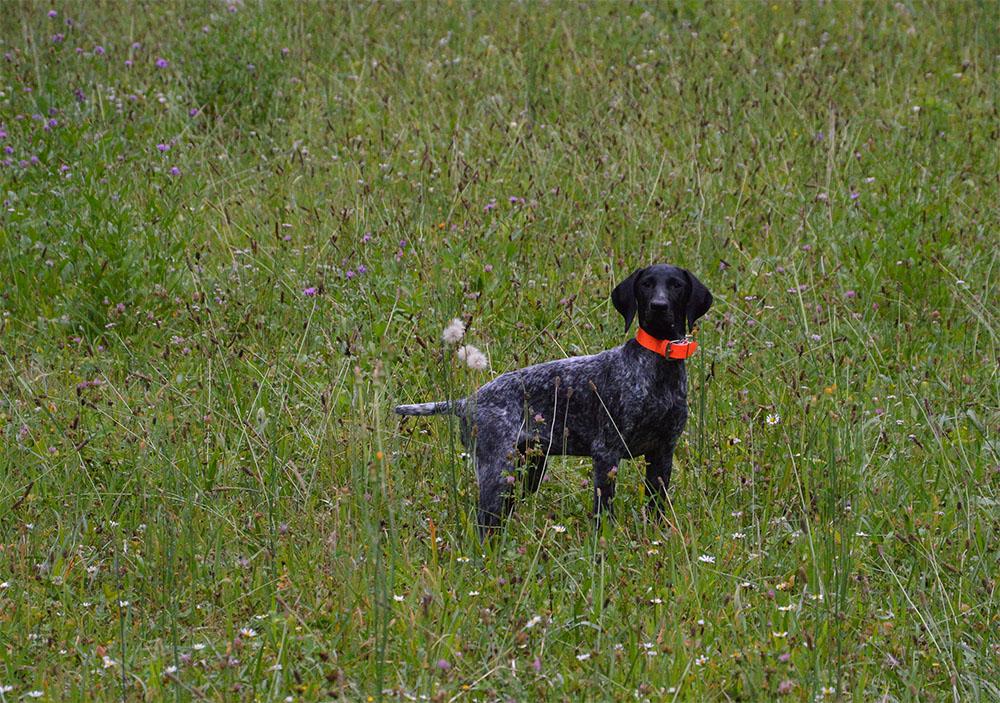 dog_island_di_tarcento_iris_kurzhaar_bracco_tedesco