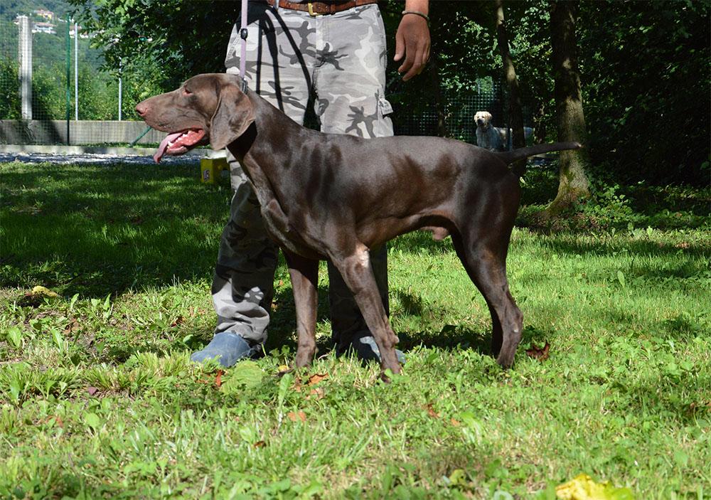 dog_island_di_tarcento_mosè_kurzhaar_bracco_tedesco